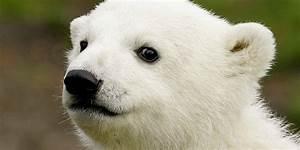 Knut The Polar Bear U0026 39 S Mysterious Death Has Been Solved