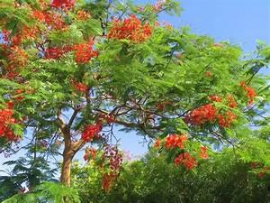 Baum Mit Roten Blättern : bl hende tropischer baum royal poinciana mit sch nen roten blumen stockfoto colourbox ~ Eleganceandgraceweddings.com Haus und Dekorationen