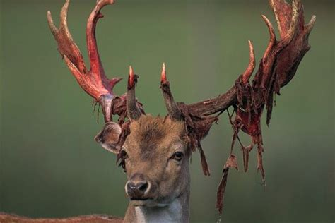 deer antler shedding 10 amazing photos of bucks shedding their velvet guide