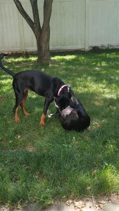 foto de Stunning Black n Tan Coonhound puppy TLC Sweet Souls