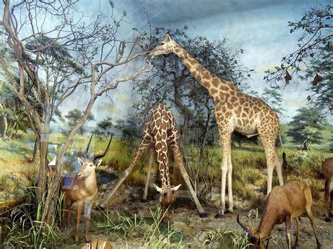 fileantelope  giraffe diorama taxidermy powell cotton