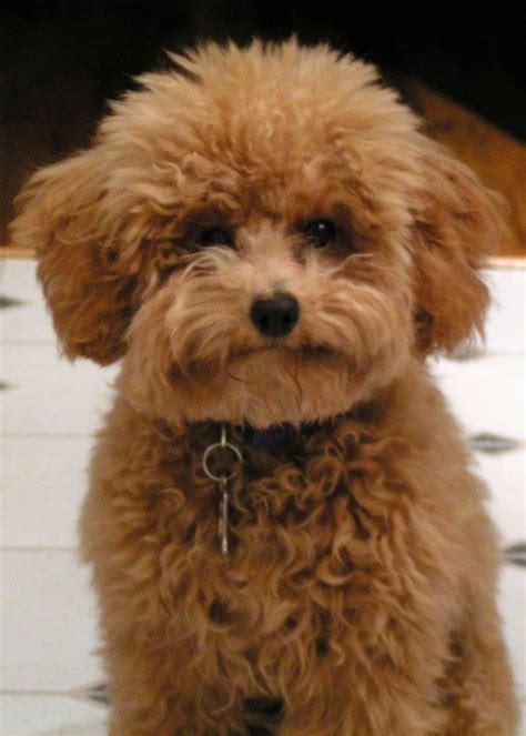 poodle colors apricot apricot poodle w a puppy cut it