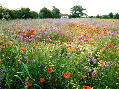 start  sow wildflowers seeds  early spring  enjoy