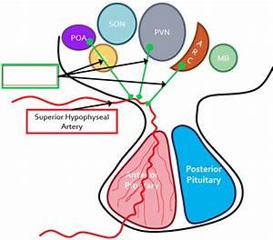 L3 U00264 The Pituitary Gland