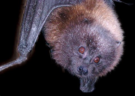 bat fruit rodrigues zoo philadelphia