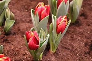 Wann Dahlien Pflanzen : tulpenzwiebeln wann pflanzen tulpenzwiebeln im herbst pflanzen samen und pflanzen samen ~ Frokenaadalensverden.com Haus und Dekorationen