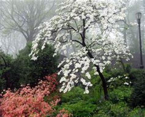 miniature dogwood tree google search landscape