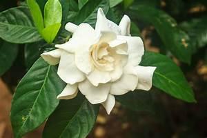 Gardenia Jasminoides Pflege : gardenie pflegen wissenswertes und ratschl ge f r ~ A.2002-acura-tl-radio.info Haus und Dekorationen