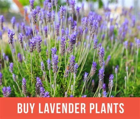 lavender plants buy growing lavender planting caring for lavender plants garden design
