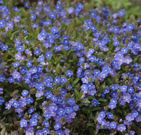 blue flower ground cover plants buy veronica umbrosa georgia blue delivery by plantstoplant com