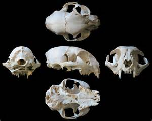 cat skull here s that cat skull multiview you ordered sauropod