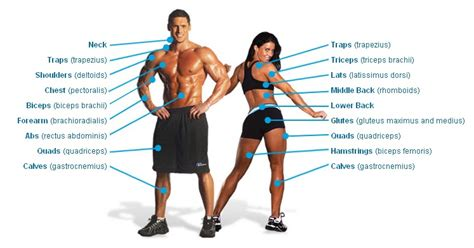 The human body can be broken down into different muscles and muscle groups, which can be worked and strengthened by exercise. Major Muscle Groups • Bodybuilding Wizard