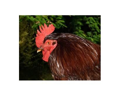 Rhode Island Chicken Breeds Head Feathers Chicks