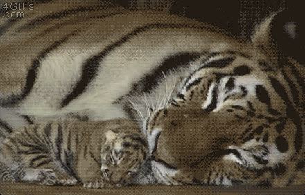 Tigre Tumblr