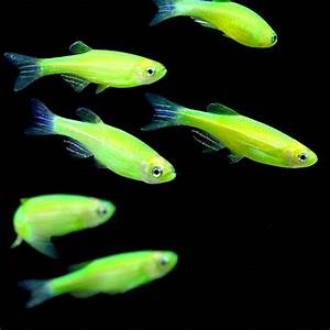 GloFish Danio for Sale Glow Fish Danio for Sale