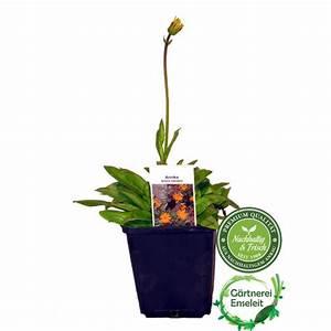 Kräuter Pflanzen Topf : arnika pflanze arnica frische kr uter pflanze im topf ~ Lizthompson.info Haus und Dekorationen