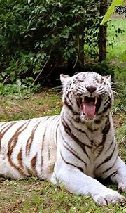 Good morning Big Cat Rescue Friends! ☀️ Sapphire Tiger is ...