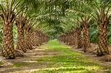 Photos of What Is Palm Oil