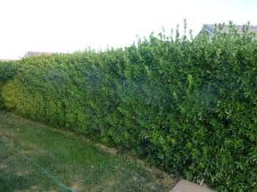 privacy plants sprinkler juice fast growing trees and bushes to provide privacy