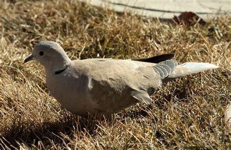 grey dove with black ring around neck eurasian collared dove birds calgary