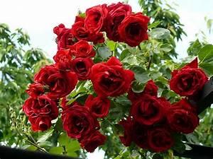 Rosen Für Rosenbogen : rosenbogen bepflanzen und prachvollen hingucker im garten gestalten ~ Orissabook.com Haus und Dekorationen