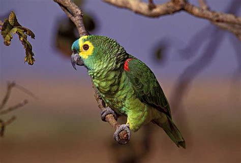 blue fronted blue fronted amazon world parrot trust