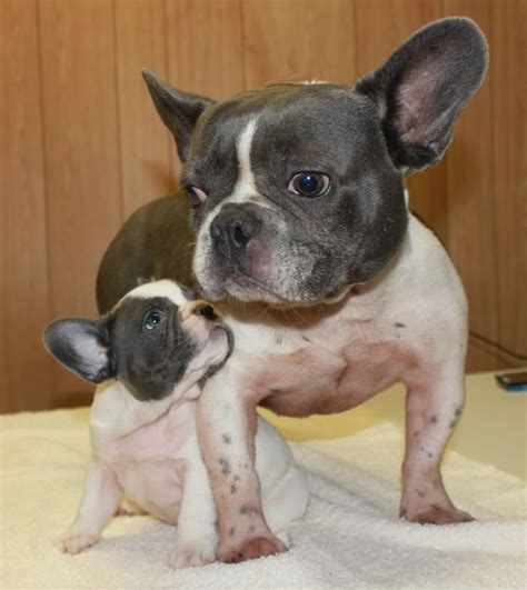 Adult Blue French Bulldogs