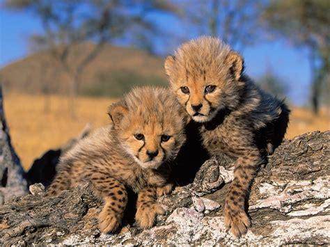 Animal Cubs Wallpapers - cheetah cubs wallpaper cheetahs animals wallpapers in jpg