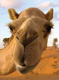 camels answers  genesis
