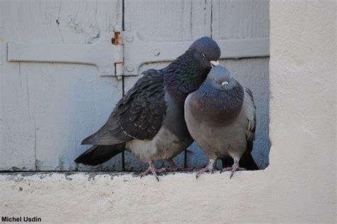 cuisiner pigeon photos de couples d 39 oiseaux pour la valentin