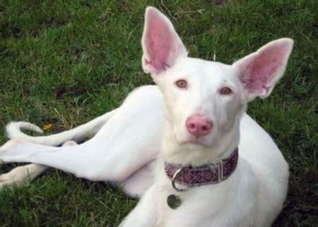 albino greyhound dogs wallpapers  images desktop