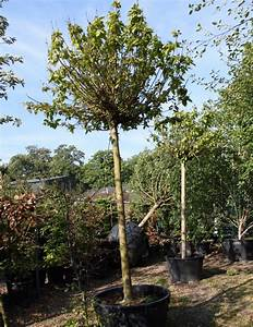 Catalpa Bignonioides Nana : a small selection of trees for smaller gardens ~ Michelbontemps.com Haus und Dekorationen