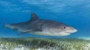 tiger shark facts worksheets anatomy habitat life cycle  kids