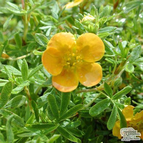 Buy Potentilla fruticosa 'Tangerine' (Shrubby Cinquefoil ...