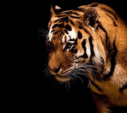 Tiger Bengal Huawei Cool P6 Android Fondos