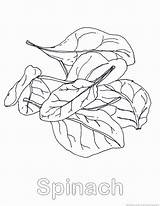 Spinach Vegetable Coloring Pages Print 123coloringpages sketch template