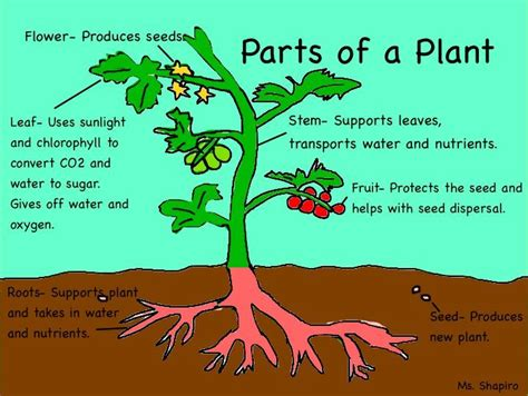 plant cell parts simple explanations basic parts