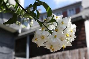 Jasmin Pflanze Winterhart : jasmin pflanze kaufen jasmin g nstig kaufen und bestellen auf jasmin winterhart jasmin ~ Frokenaadalensverden.com Haus und Dekorationen