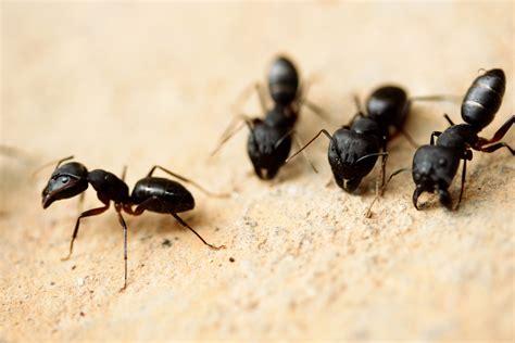 carpenter ants carpenter ants seitz brothers