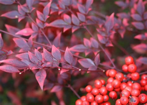 shrub with berries in winter plant nandinas for great winter color and berries mississippi state university extension service