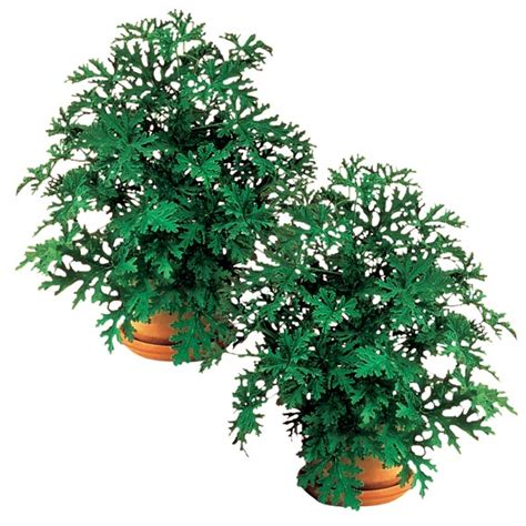 anti mosquito plants anti mosquito plant set mosquito repelling plant walter drake