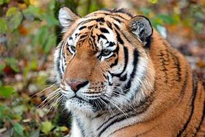WWF Hong Kong - Tigers in the Wild: WWF Aims to Double the ...
