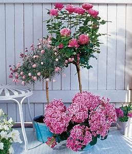 Rosen Für Balkon : meine lieblinge f r den balkon rosen als hochst mmchen ~ Michelbontemps.com Haus und Dekorationen