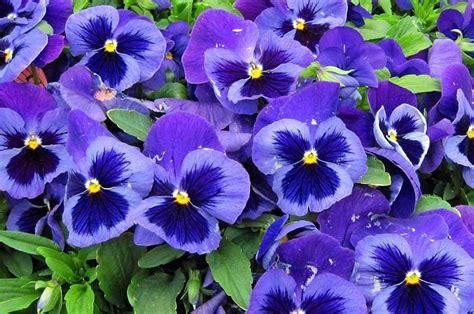fiori pensiero pans 232 fiori invernali casafacile