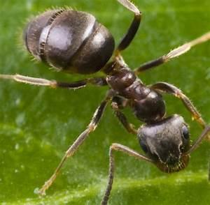 Hausmittel Gegen Spinnen : ameisen vertreiben ohne gift die besten 25 ameisen im garten ideen auf pinterest hausmittel ~ Whattoseeinmadrid.com Haus und Dekorationen