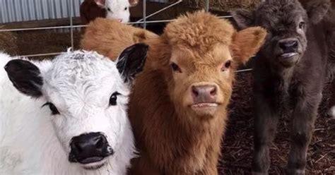es ist moeglich eine mini kuh als haustier zu halten