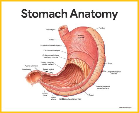 Diagram Of Stomach And by Digestive System Anatomy And Physiology Nursing School