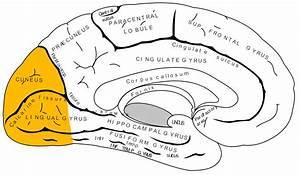 File Gray727 Occipital Lobe Png