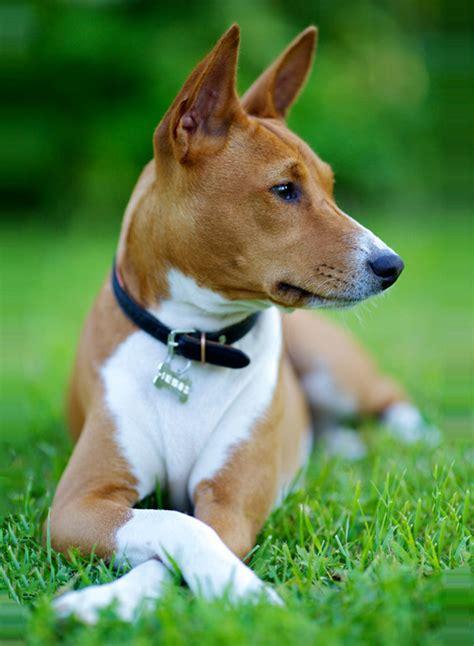 basenji hund wesen erziehung und eigenschaften