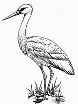 Coloring Pages Stork Storks Birds Heron Printable Crane Raskraski Colors Coloring2print Recommended sketch template